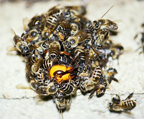 ミツバチ ダンス